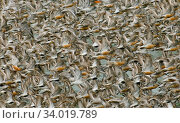 Red knot (Calidris canutus) flock exploding from roost at Snettisham, the Wash, Norfolk, England, UK. August. Стоковое фото, фотограф David Tipling / Nature Picture Library / Фотобанк Лори