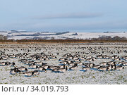 Barnacle geese (Branta leucopsis) flock in winter, with snowy landscape, Caerlaverock Dumfries and Galloway, Scotland, UK, Deember. Стоковое фото, фотограф David Tipling / Nature Picture Library / Фотобанк Лори