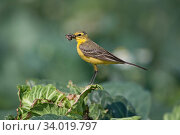 Yellow wagtail (Motacilla flava) male carrying food for young in nest under cabbage leaf Lincolnshire, England, UK, June. Стоковое фото, фотограф David Tipling / Nature Picture Library / Фотобанк Лори