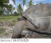 Aldabra giant tortoise (Aldabrachelys gigantea) Astove Atoll, Aldabra island group, Seychelles. Стоковое фото, фотограф David Tipling / Nature Picture Library / Фотобанк Лори