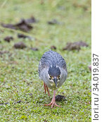 Купить «Striated / Green-backed heron (Butorides striata degens) Seychelles race, Alphonse Atoll, Seychelles», фото № 34019837, снято 12 июля 2020 г. (c) Nature Picture Library / Фотобанк Лори