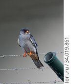 Купить «Amur falcon (Falco amurensis) male perched on barbed wire, Mahe, Seychelles.», фото № 34019861, снято 4 августа 2020 г. (c) Nature Picture Library / Фотобанк Лори