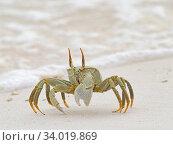 Купить «Horned ghost crab (Ocypode ceratophthalma) Wizard Island, Cosmoledo Atoll, Seychelles», фото № 34019869, снято 5 июля 2020 г. (c) Nature Picture Library / Фотобанк Лори