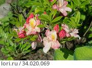 Рододендрон японский  (лат. Rhododendron japonicum) цветет в саду. Стоковое фото, фотограф Елена Коромыслова / Фотобанк Лори