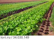 Field planted with leafy vegetables. Стоковое фото, фотограф Яков Филимонов / Фотобанк Лори