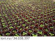 Купить «Houseplant seedlings at plantation», фото № 34038397, снято 16 июля 2020 г. (c) Яков Филимонов / Фотобанк Лори