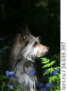 Portrait of a cute fluffy dog in the forest among blue flowers and fern. Стоковое фото, фотограф Яна Королёва / Фотобанк Лори