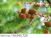 Pine cones on branches. Brown pine cone of pine tree. Growing cones close up. Larch cones growing in row on branch with needles. Fresh fruits of coniferous tree. Стоковое фото, фотограф Zoonar.com/Alexander / easy Fotostock / Фотобанк Лори