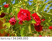 Купить «Цветущая плетистая роза», фото № 34049093, снято 18 июня 2020 г. (c) Ирина Борсученко / Фотобанк Лори
