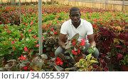 Купить «Young African man farmer working in garden center, examining seedlings of Begonia semperflorens», видеоролик № 34055597, снято 1 июня 2020 г. (c) Яков Филимонов / Фотобанк Лори