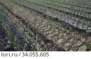 View of field planted with ripening organic scallions. Farming. Food production. Стоковое видео, видеограф Яков Филимонов / Фотобанк Лори
