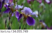Купить «Красивый цветок ирис покачивается легким ветром на размытом цветочном фоне», видеоролик № 34055749, снято 12 июня 2020 г. (c) Владимир Литвинов / Фотобанк Лори