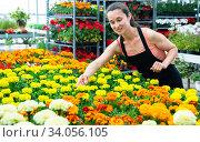 Купить «Female florist checking potted flowers French marigold», фото № 34056105, снято 7 июля 2020 г. (c) Яков Филимонов / Фотобанк Лори
