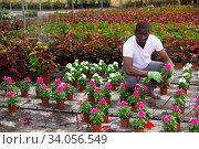 Купить «African american florist engaged in cultivation of Catharanthus roseus», фото № 34056549, снято 16 июля 2020 г. (c) Яков Филимонов / Фотобанк Лори