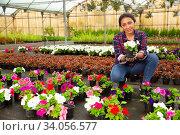 Skilled Latina florist examining potted petunia. Стоковое фото, фотограф Яков Филимонов / Фотобанк Лори