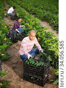 Arabian horticulturist harvesting organic green zucchini crop. Стоковое фото, фотограф Яков Филимонов / Фотобанк Лори