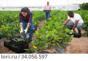 Купить «Hired workers harvest zucchini», фото № 34056597, снято 4 августа 2020 г. (c) Яков Филимонов / Фотобанк Лори
