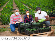 Successful farmers in medical masks near boxes with zucchini. Стоковое фото, фотограф Яков Филимонов / Фотобанк Лори