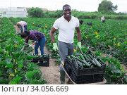 Cheerful african american farmer carrying wheelbarrow with zucchini. Стоковое фото, фотограф Яков Филимонов / Фотобанк Лори