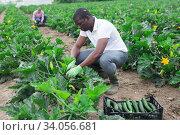 African american farmer collect harvest zucchini. Стоковое фото, фотограф Яков Филимонов / Фотобанк Лори