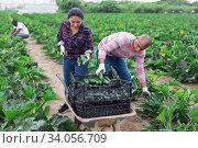 Купить «Latino farmers together harvest zucchini», фото № 34056709, снято 1 июня 2020 г. (c) Яков Филимонов / Фотобанк Лори