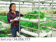 Latina woman stacking crates with seedlings in greenhouse. Стоковое фото, фотограф Яков Филимонов / Фотобанк Лори