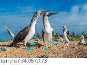 Купить «Blue-footed Booby (Sula nebouxii) courting pair, South coast, Santa Cruz Island, Galapagos.», фото № 34057173, снято 12 июля 2020 г. (c) Nature Picture Library / Фотобанк Лори