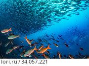 Купить «Bonito (Sarda orientalis) shoal swimming past the undersea base of Darwin's Arch. Darwin (Culpepper) Island, Galapagos.», фото № 34057221, снято 8 июля 2020 г. (c) Nature Picture Library / Фотобанк Лори