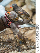 Vampire ground finches (Geospiza septentrionalis) feeding on Nazca booby (Sula granti) blood. Wolf Island, Galapagos. Стоковое фото, фотограф Tui De Roy / Nature Picture Library / Фотобанк Лори