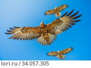 Galapagos hawk (Buteo galapagoensis) group of three in flight, Alcedo Volcano, Isabela Island, Стоковое фото, фотограф Tui De Roy / Nature Picture Library / Фотобанк Лори