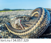 Galapagos racer snake (Pseudalsophis biserialis) feeding on marine iguana hatchling, Cape Douglas, Fernandina Island, Galapagos. Стоковое фото, фотограф Tui De Roy / Nature Picture Library / Фотобанк Лори