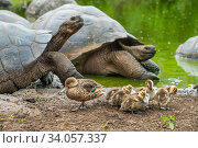 Купить «White-cheeked pintails (Anas bahamensis)  with Western Santa Cruz tortoise (Chelonoidis porteri) at pond, Santa Cruz, Galapagos.», фото № 34057337, снято 12 июля 2020 г. (c) Nature Picture Library / Фотобанк Лори