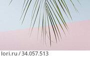 The branch of an green tropical palm tree swings slowly on a duotone pink blue background. Smooth slow movement of a branch. Shadows from branch. Full HD video, 240fps,1080p. Стоковое видео, видеограф Ярослав Данильченко / Фотобанк Лори