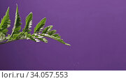 Купить «Drops of water fall one drop at a house plant fern and flow down on a purple background. Full HD video, 240fps, 1080p.», видеоролик № 34057553, снято 3 июля 2020 г. (c) Ярослав Данильченко / Фотобанк Лори