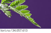 Купить «Close-up view with soft focus. Drops of water fall one drop at a house plant fern and flow down on a purple background . Full HD video, 240fps, 1080p.», видеоролик № 34057613, снято 13 июля 2020 г. (c) Ярослав Данильченко / Фотобанк Лори