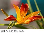 Close up view of a beautiful garden Daylily 'Frans Hals' (Hemerocallis hybrida) flower. Стоковое фото, фотограф Zoonar.com/Mauro Rodrigues / easy Fotostock / Фотобанк Лори