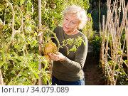 Senior woman gardening in tomato plantation. Стоковое фото, фотограф Яков Филимонов / Фотобанк Лори