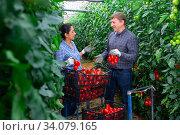 Gardeners harvesting tomatoes and talking in greenhouse. Стоковое фото, фотограф Яков Филимонов / Фотобанк Лори