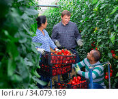 Communication of farmers after harvesting red tomatoes in greenhouse. Стоковое фото, фотограф Яков Филимонов / Фотобанк Лори