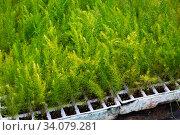 Greenery of Asparagus Fern seedlings grown in greenhouse. Стоковое фото, фотограф Яков Филимонов / Фотобанк Лори