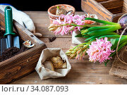 Купить «Gardening and planting concept. Woman hands planting hyacinth in ceramic pot. Seedlings garden tools, tubers (bulbs) gladiolus and hyacinth, flowers pink hyacinth. Toned and processing photo.», фото № 34087093, снято 13 июля 2020 г. (c) easy Fotostock / Фотобанк Лори
