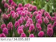 Купить «Blooming Pink Flowers Of Hyacinth In Spring Garden.», фото № 34095881, снято 9 мая 2017 г. (c) easy Fotostock / Фотобанк Лори