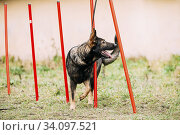 Купить «German Shepherd Dog doing agility - running slalom. Agility slalom. Training Of Purebred Adult Alsatian Wolf Dog.», фото № 34097521, снято 6 декабря 2015 г. (c) easy Fotostock / Фотобанк Лори