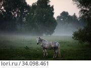 Купить «Белая лошадь в утреннем тумане», фото № 34098461, снято 24 июня 2020 г. (c) Дмитрий Неумоин / Фотобанк Лори