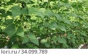 Купить «Closeup of green bean bushes ripening on hanging stalks in commercial greenhouse», видеоролик № 34099789, снято 18 мая 2020 г. (c) Яков Филимонов / Фотобанк Лори