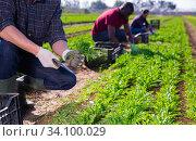 Купить «Farmers work on field - harvest arugula», фото № 34100029, снято 5 августа 2020 г. (c) Яков Филимонов / Фотобанк Лори