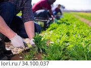 Купить «Team of workers harvests arugula on plantation», фото № 34100037, снято 12 июля 2020 г. (c) Яков Филимонов / Фотобанк Лори