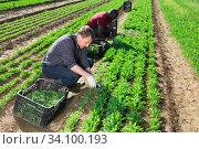 Купить «Farmers work on field - harvest arugula», фото № 34100193, снято 18 мая 2020 г. (c) Яков Филимонов / Фотобанк Лори