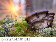 Купить «The bright rays of the sun illuminate oyster mushrooms growing on green moss.», фото № 34101013, снято 24 октября 2010 г. (c) Акиньшин Владимир / Фотобанк Лори