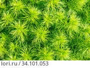 Купить «Young green horsetail. Sunny spring day.», фото № 34101053, снято 12 мая 2020 г. (c) Акиньшин Владимир / Фотобанк Лори